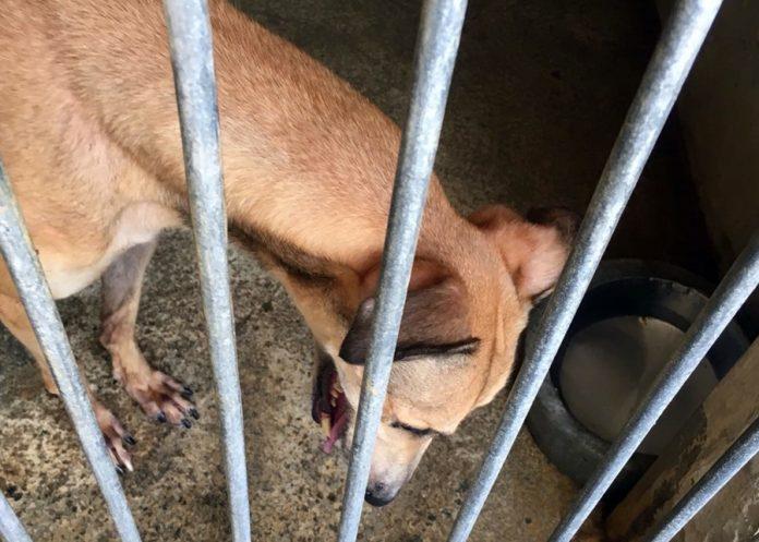 民署澄清無強制格力犬60天內全數絕育