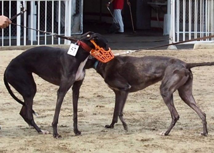 澳門愛護動物協會預料最遲4月初逸園格力犬可全數被領養